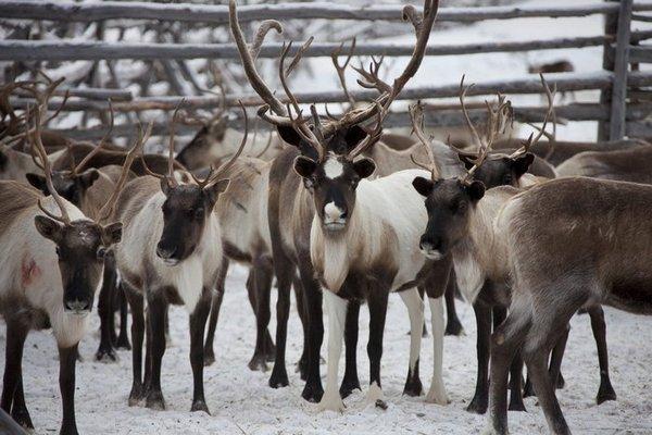 Hươu vùng Sibiri có điều kiện sinh trưởng tốt